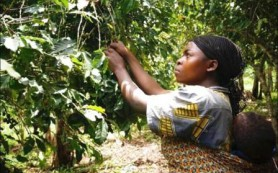 Банан может защитить кофе от последствий изменения климата