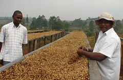 Власти Уганды намерены увеличить производство кофе в 4 раза