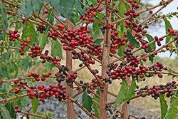 Плантации кофе по всему миру под угрозой