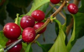 Страсти по зелёному кофе