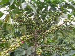 В Иране впервые предпринимается попытка выращивать кофе