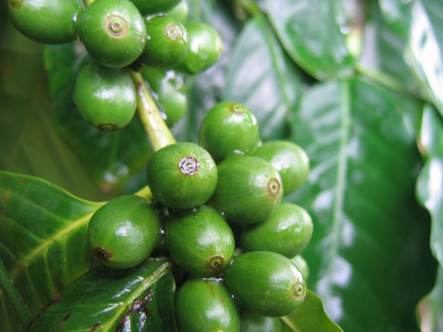 Вред зеленого кофе: отзывы врачей