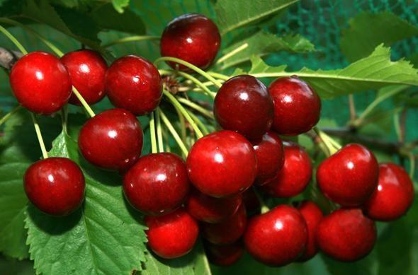 Ягодные культуры для вашего сада от Greensad