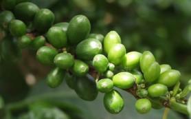 Зеленые кофейные зерна: хорошее средство для похудения
