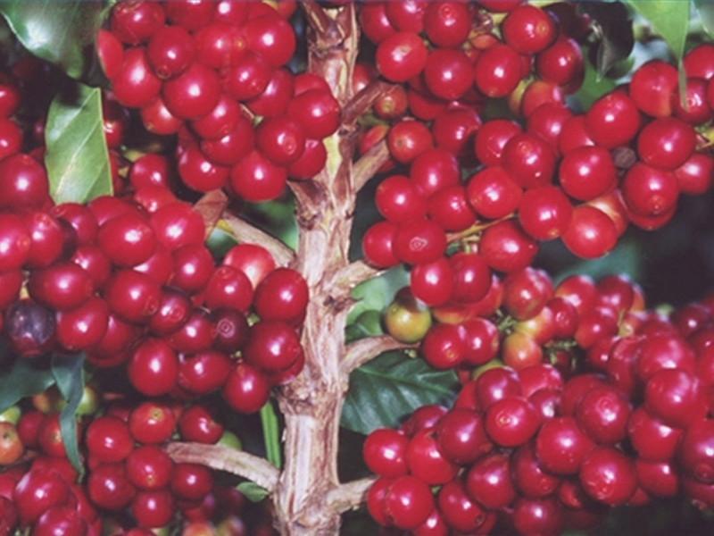 Мексика резко снизила экспорт кофе из-за вспышки инфекции кофейных деревьев