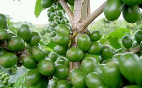 Зелёный кофе — натуральный продукт