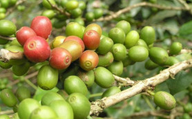 Шумиха вокруг экстракта зерен зеленого кофе