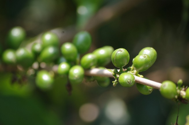 Какие полезные свойства зеленого кофе