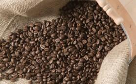Особенности выращивания гигантского кофе утрачен навсегда?
