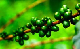 Постройте идеальную фигуру с зеленым кофе