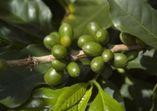 Похудеть с помощью зеленого кофе вполне реально