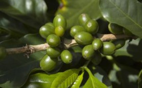 Польза зеленого кофе научно обоснована