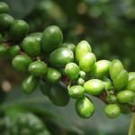 Кофе для похудения доказывает свою эффективность