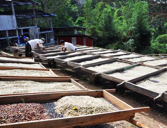 Производство кофе может навредить окружающей среде