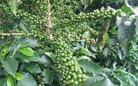 Зеленый кофе- его вред и польза