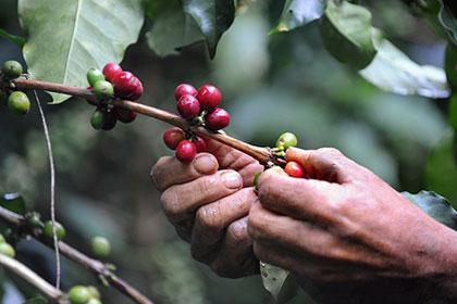 В скором времени кофе может стать дефицитным товаром
