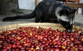Особенности изготовления самого дорогого кофе на планете