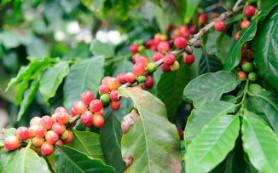 В мире ожидается дефицит кофе