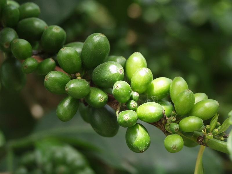 Зеленый кофе избавит от диабета