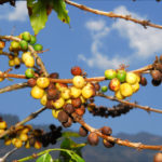 Мексика наращивает производство кофе