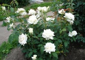 Какие бывают сорта роз: чайно-гибридные, флорибунда, полиантовые розы