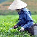 Продажа чай из Вьетнама от Оренбургской чайной фабрики