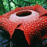 Растение раффлезия и его особенности