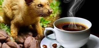 Кофе лювак (kopi luwak): обзор самого дорогого в мире сорта кофе
