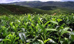 Чайные районы провинции Юньнань