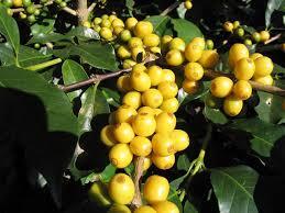 Кофейный сорт Желтый бурбон