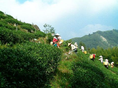 Молочный улун Най Сян Цзинь Сюань и его происхождение.