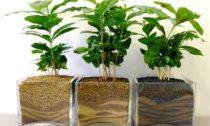 Тонкости выращивания кофейного дерева в домашних условиях