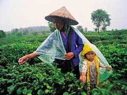 О выращивании чая в Китае