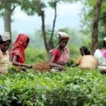 История чая в Индии