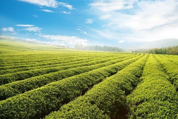 Как созревает идеальный чай