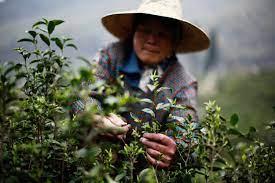 Несколько слов о сезонах и времени сбора зелёного чая в Китае