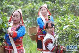 Ла Ю – холодный чай народа цзино