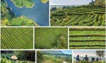 В чаеводческих регионах Китая весна вступила в свои права