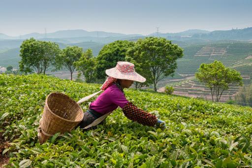 Великое путешествие чая от жаркой плантации до нашего завтрака